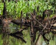 Schlendern in den Sumpf, der seine eigene Reflexion betrachtet Stockbild