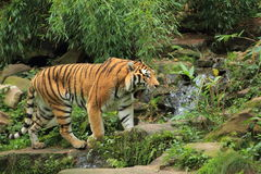 Schlendernder Amur-Tiger Stockfoto