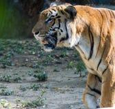 Schlendernder Tiger lizenzfreies stockfoto