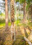Schleppen Sie die Kamera, die im Wald justiert, der im Wald auf einem Baum verlassen wird Lizenzfreies Stockfoto