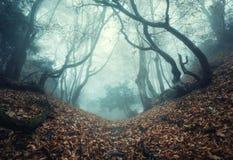 Schleppen Sie durch einen mysteriösen dunklen alten Wald im Nebel Herbst stockbild