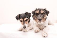 Schleppen Sie wenig dreifarbigen Hund liegt vor weißem Hintergrund Rau-haariges und defektes behaartes Jack Russell Terrier-DOS lizenzfreie stockfotografie