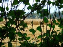 Schleppender Efeu und Anlagen mit einem Hintergrund des Weizenfeldes lizenzfreies stockbild