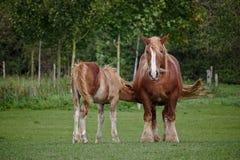 Schleswig coldblood paard die zijn veulen op een groen weiland voeden royalty-vrije stock afbeelding