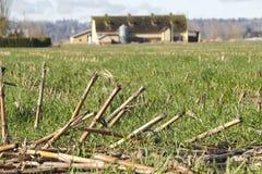 Schließen Sie auf geernteter Mais-Stoppel Stockfoto