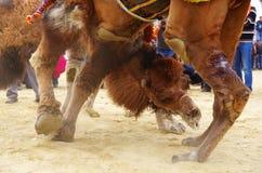 Schließen Sie bis zu den Gesichtern von kämpfenden Kamelen an wretling Festival lizenzfreie stockfotos