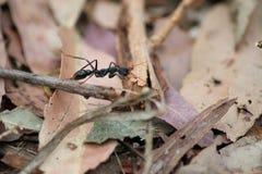 Schließen Sie bis zur australischen Ameise im wilden Stockfoto