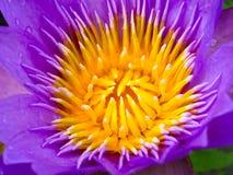 schließen Sie bis zur purpurroten blühenden Lotosblume nachdem Regenfall in Stockbild
