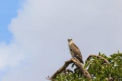 Schließen Sie den ausgewichenen Schlangenadler kurz, der in einem Baum sitzt Stockbild