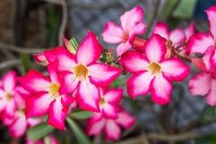 Schließen Sie herauf Adenium obesum Blume Stockfotos
