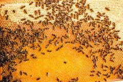 Schließen Sie herauf Ansicht der Arbeitsbienen auf der Bienenwabe im Bienenhaus mit süßem Honig Honig ist gesundes Erzeugnis der  Stockfoto