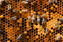 Schließen Sie herauf Ansicht der Arbeitsbienen und des gesammelten Blütenstaubs in ho Lizenzfreie Stockfotografie