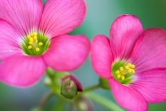Schließen Sie herauf Ansicht der schönen rosa Achimenes-Blume Stockfoto