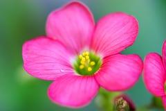 Schließen Sie herauf Ansicht der schönen rosa Achimenes-Blume Lizenzfreies Stockbild
