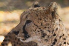 Schließen Sie herauf Ansicht des Gepardkopfes. stockbild