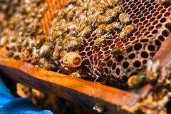 Schließen Sie herauf Ansicht des Kammes mit junger Bienenkönigin Schließen Sie herauf das Darstellen Stockbild