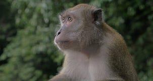Schließen Sie herauf Ansicht des Makakens an Batu-Höhlen auf unscharfem grünem Hintergrund Gombak, Selangor, Malaysia stock video