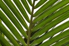 Schließen Sie herauf Ansicht des netten grünen Palmblattes auf natürlichem Hintergrund Stockbild