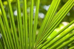 Schließen Sie herauf Ansicht des netten grünen Palmblattes auf natürlichem Hintergrund Lizenzfreie Stockfotografie