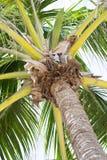 Schließen Sie herauf Ansicht des Palmenkopfes Stockfoto