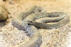 Schließen Sie herauf Ansicht einer brasilianischen Klapperschlange Stockbilder