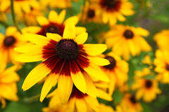 Schließen Sie herauf Ansicht einer gelben Kegelblume Stockbild
