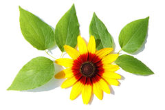 Schließen Sie herauf Ansicht einer gelben Kegelblume Stockfotos