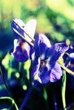 Schließen Sie herauf Ansicht einer Viola in der wechselseitigeen Entwicklung Stockfotografie