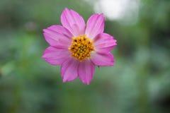 Schließen Sie herauf Ansicht einer wilden Blume in einem Garten an Guakon-Dorf, Tamparuli, Sabah, Malaysia Lizenzfreie Stockbilder