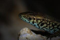 Schließen Sie herauf Ansicht eines farbigen Reptils Stockfotografie