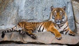 Schließen Sie herauf Ansicht eines indo-chinesischen Tigers Stockfotos