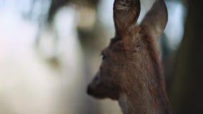 Schließen Sie herauf Ansicht eines jungen bambi, das Kitzrotwild, welches das Gras kaut und herum im Reservierungsbereich schaut  stock footage