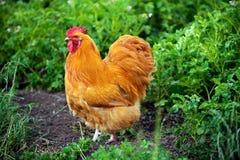 Schließen Sie herauf Ansicht eines lederfarbenen orpington Huhns, das durch das Gras auf ländlichem Bauernhof geht stockfoto