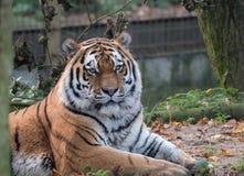 Schließen Sie herauf Ansicht eines sibirischen Tigers Stockfotos