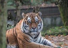 Schließen Sie herauf Ansicht eines sibirischen Tigers Stockfotografie