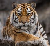 Schließen Sie herauf Ansicht eines sibirischen Tigers Lizenzfreies Stockbild