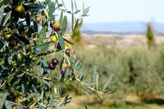 Schließen Sie herauf Ansicht von Oliven auf Baum Stockbilder