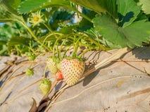 Schließen Sie herauf Babyerdbeere an der Erdbeere Stockfoto