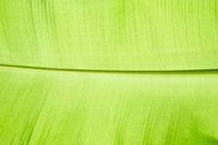 Schließen Sie herauf Bananenblatt lizenzfreies stockfoto