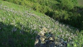 Schließen Sie herauf Berg mit Dittany (Dictamnus albus), Kräuter, Bäume stock video