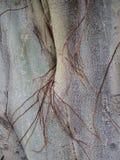 Schließen Sie herauf Beschaffenheit von Asiat Bodhi-Baum mit den Ranken, die entlang Oberfläche wachsen Lizenzfreie Stockfotografie