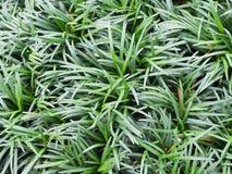 schließen Sie herauf Beschaffenheitshintergrund Mini-mondo Grases stockbild