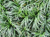 schließen Sie herauf Beschaffenheitshintergrund Mini-mondo Grases stockbilder