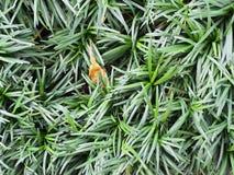 schließen Sie herauf Beschaffenheitshintergrund Mini-mondo Grases lizenzfreies stockfoto