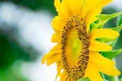 Schließen Sie herauf Biene auf Sonnenblume stockfotografie