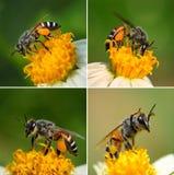 Schließen Sie herauf Bienen auf Blume Lizenzfreies Stockfoto