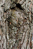 Schließen Sie herauf Bild der geknoteten Baumrinde Stockbilder