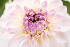 Schließen Sie herauf Bild der weißen Chrysantheme Lizenzfreie Stockfotos
