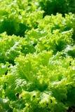 Schließen Sie herauf Bild des Kopfsalates am organischen Gemüsegarten Lizenzfreie Stockfotografie
