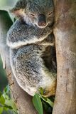 Schließen Sie herauf Bild eines Koala stockfotografie